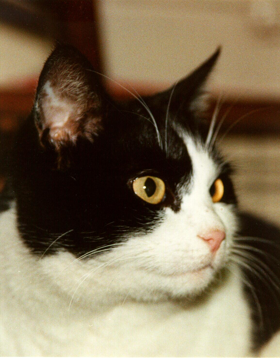 Minié, l'un des chats de mon frère Pierre, 1985-2005, photographié en 1998, cliquer pour une vue agrandie